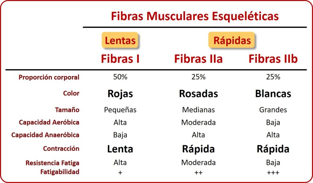 Gráfica fibras musculares esqueléticas